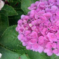 心地よい暮らし ガーデニング 紫陽花