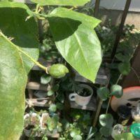 家庭菜園 レモン